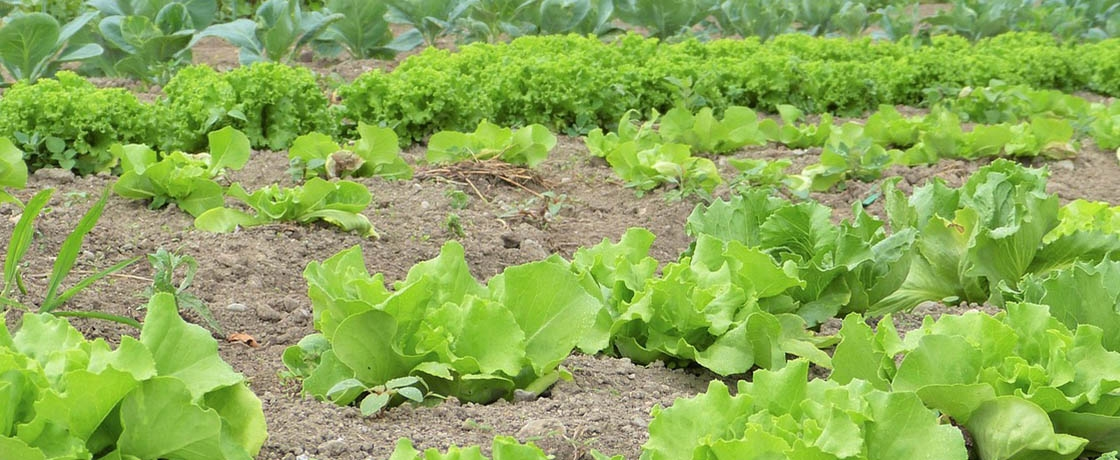 lettuce growing in rows on a farm
